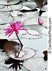 Asian water flower