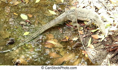 Asian water monitor lizard cruising mangrove saline swamp -...