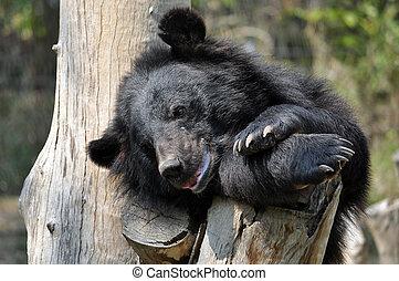 asiatic black bear - Asian black bears are close relatives...