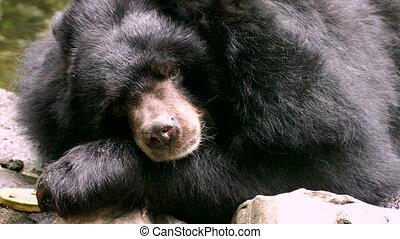 Asiatic Black Bear (Ursus thibetanus, Himalayan Black Bear)...