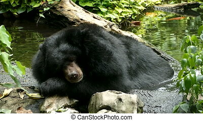 Asiatic Black Bear ( Ursus thibetanus, Himalayan Black Bear...