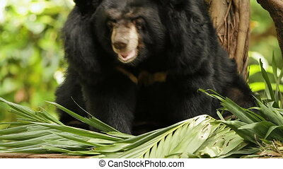 Asiatic black bear (Ursus thibetanus, Selenarctos...