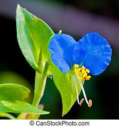 Asiatic blue dayflower close up.