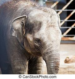 Asiatic elephant close up