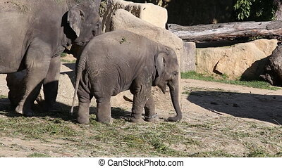 Asiatic Elephant - Young Asiatic Elephant and his mother...