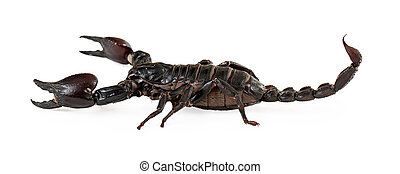 Profile view of a large black Asiatic Forest Scorpion
