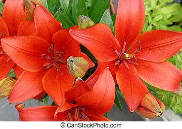 Asiatic Lilly - bright red-orange Asiatic lilly
