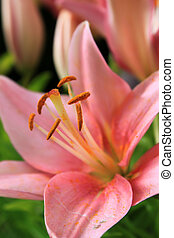 Blooming flower petals of a pink Asiatic Lily in a green garden