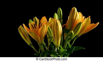 Asiatic Lily Flower Time-lapse - Time-lapse of Asiatic lily...
