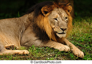 Portrait of an Asiatic Lion, a critically endangered animal found only in Gir National Forest in India