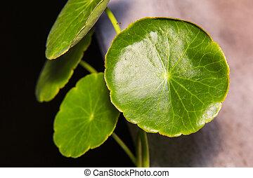 Asiatic Pennywort (Centella asiatica) or Gotu Kola leaf herb...