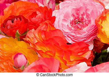 Asiatic Ranunculus Flowers - Fresh spring flowers in vivid...