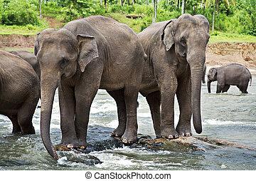 asiatisch, elefanten