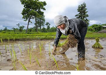 asijský eny, rostoucí, rýže