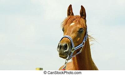 Asil Arabian horse mare portrait - Asil Arabian mare looking...