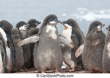 asilo, adelie, giovane, penguins.