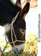 asinus), burro, (equus