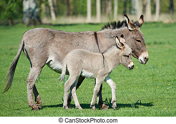 asinus), esel, (equus, africanus