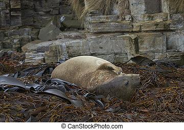 Asleep on a bed of kelp