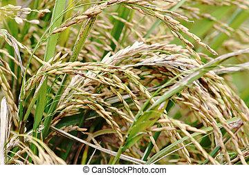 asmine rice in farm.