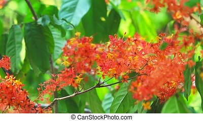 Asoka, Saraca, Sorrowless tree bouquet red flowers in the garden