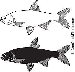 Asp predatory freshwater fish