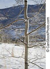 asp, vinter, -, träd, snö, lång