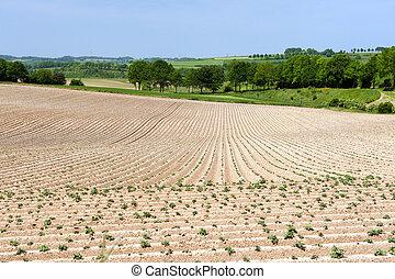 Asparagus agriculture