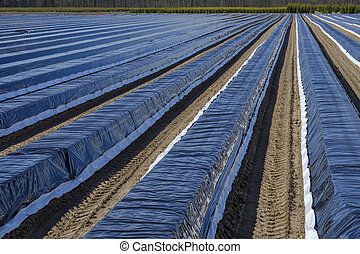 Asparagus beds covered with plastic film