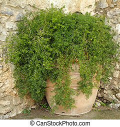 asparagus fern in terracotta planter on italian backyard