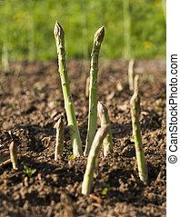 Asparagus - Fresh green asparagus growing on the garden