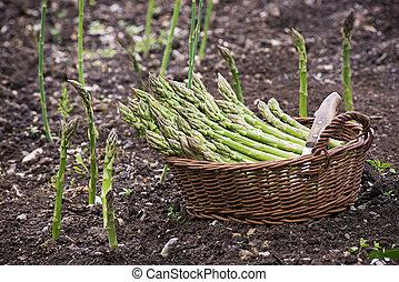 Asparagus - Fresh green organic asparagus growing on the...