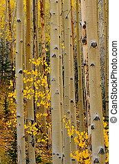 aspen, árvores