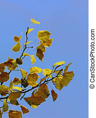 Aspen Abstract - Aspen leaves against a blue sky background