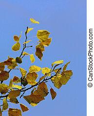 Aspen leaves against a blue sky background