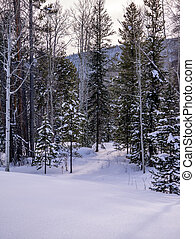 Aspen and Pine Forest with Path