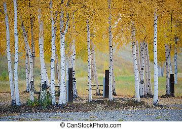 aspen autumn - fall color of aspen tree in alaska