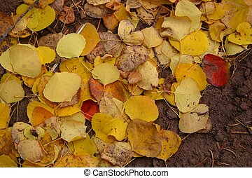 Background abstract of fallen Autumn aspen leaves
