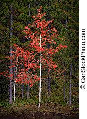 Aspen Birch Tree in Forest