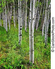 Aspen Birch Trees in Summer