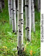 Aspen Birch Trees in Summer - Detail of several aspen birch...