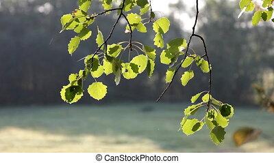 aspen branch at windy autumn sunrise