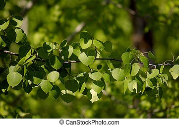 branch of an aspen tree, right after full leaf out in the spring.