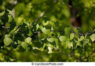 Aspen Branch - branch of an aspen tree, right after full ...