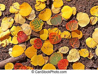 Aspen Fall Color Mogollon Rim, AZ 1
