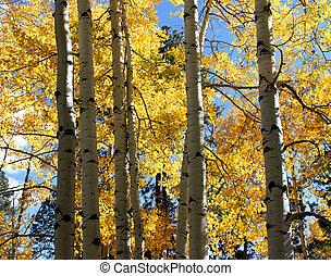 Aspen Fall Color Mogollon Rim, AZ 2