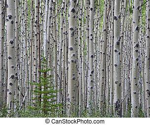 Aspen forest in Jasper National Park, Canada