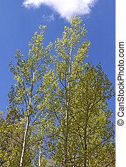 Aspen forest in spring 1