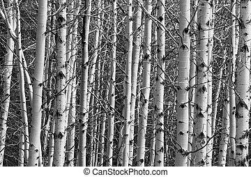 Aspen Forest Tree Trunks Background