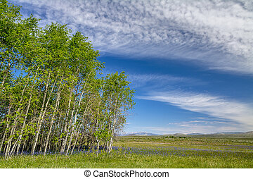 Aspen forest with blue flowers and clouds